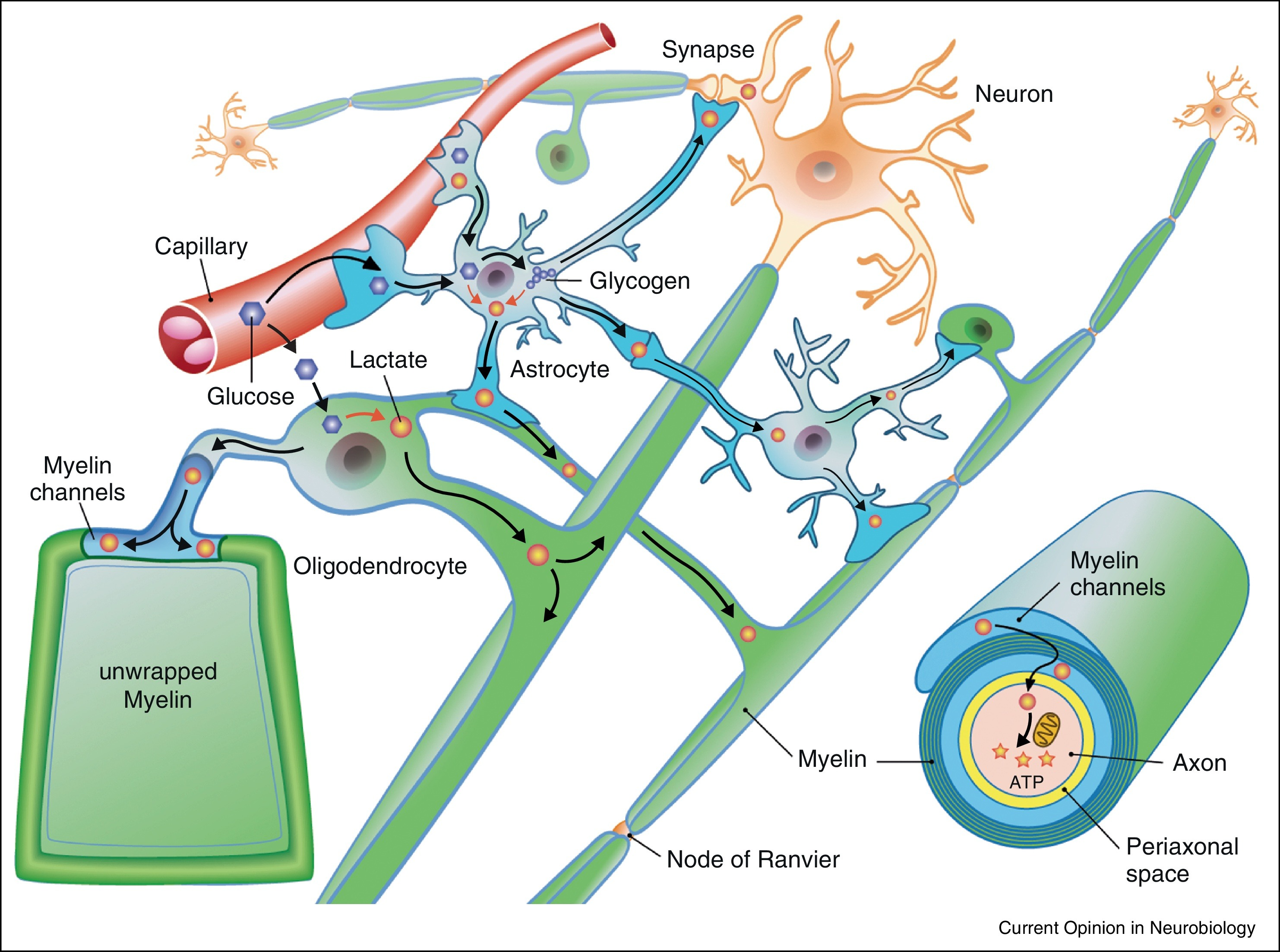 Uzh experimental imaging and neuroenergetics neuron glia scheme of neuron glia interactions and metabolic support to neuronal compartments myelinated axons may receive lactate from glycolytic oligodendrocytes ccuart